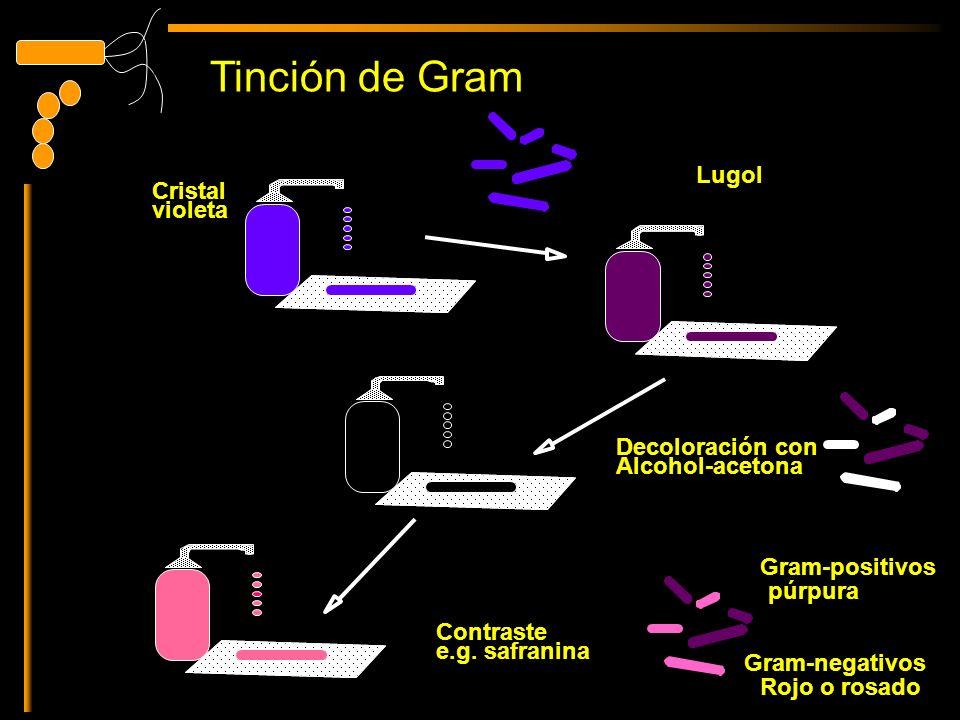 Cristal violeta Lugol Decoloración con Alcohol-acetona Contraste e.g. safranina Gram-positivos púrpura Gram-negativos Rojo o rosado Tinción de Gram