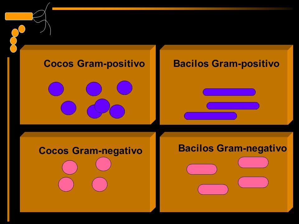 Bacilos Gram-positivo Bacilos Gram-negativo Cocos Gram-positivo Cocos Gram-negativo