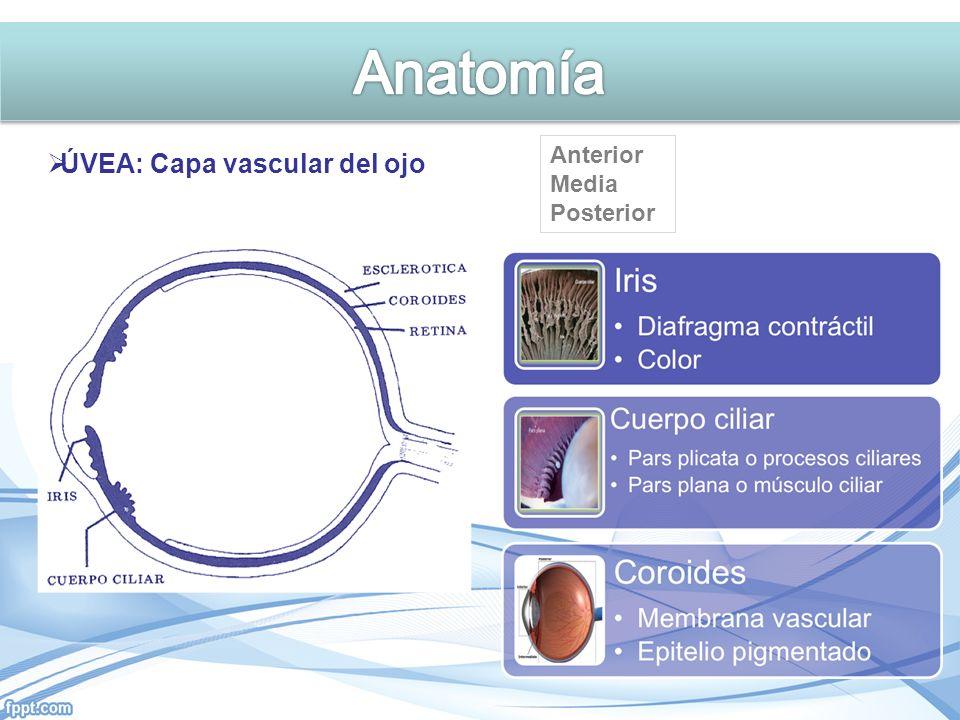 ÚVEA: Capa vascular del ojo Anterior Media Posterior