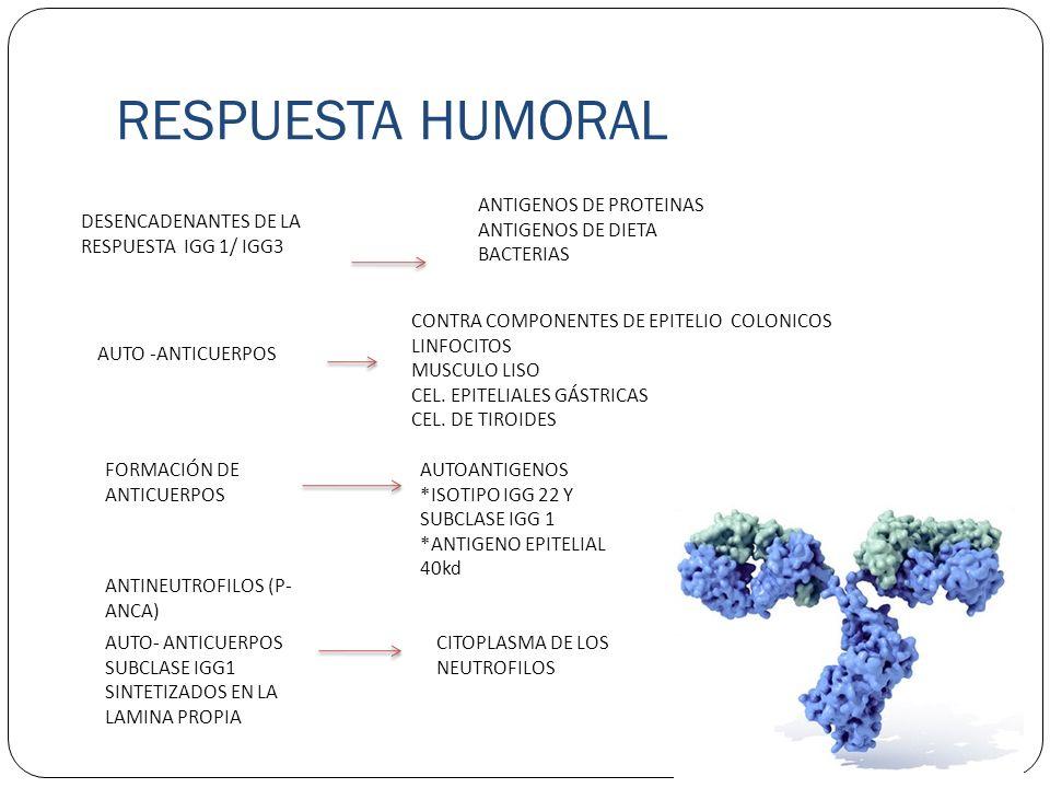 RESPUESTAS CELULARES LINFOCITOS SUBCLASE (CD4+/ CD8+) LINFOCITO CD8+ CITOTOXICÓ CONTRA CÉLULAS EPITELIALES COLÓNICAS T (HELPER ) ESTÁN INVOLUCRADOS EN EL EFECTO DE LOS LINFOCITOS T SOBRE LA PRODUCCIÓN DE INMUNOGLOBULINAS POR PARTE DE LOS LINFOCITOS B.