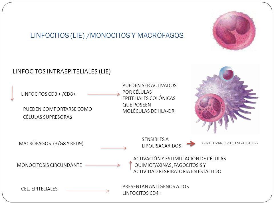 LINFOCITOS (LIE) /MONOCITOS Y MACRÓFAGOS LINFOCITOS INTRAEPITELIALES (LIE) LINFOCITOS CD3 + /CD8+ PUEDEN SER ACTIVADOS POR CÉLULAS EPITELIALES COLÓNIC