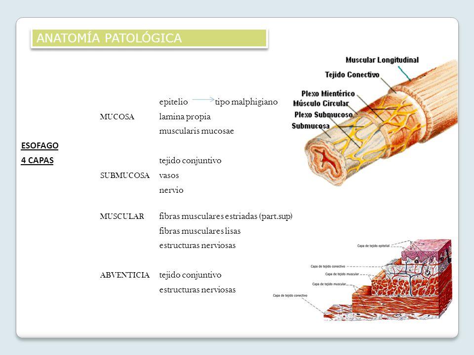 epiteliotipo malphigiano MUCOSA lamina propia muscularis mucosae ESOFAGO 4 CAPAS tejido conjuntivo SUBMUCOSA vasos nervio MUSCULAR fibras musculares e
