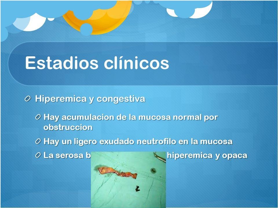 Estadios clínicos Hiperemica y congestiva Hay acumulacion de la mucosa normal por obstruccion Hay un ligero exudado neutrofilo en la mucosa La serosa