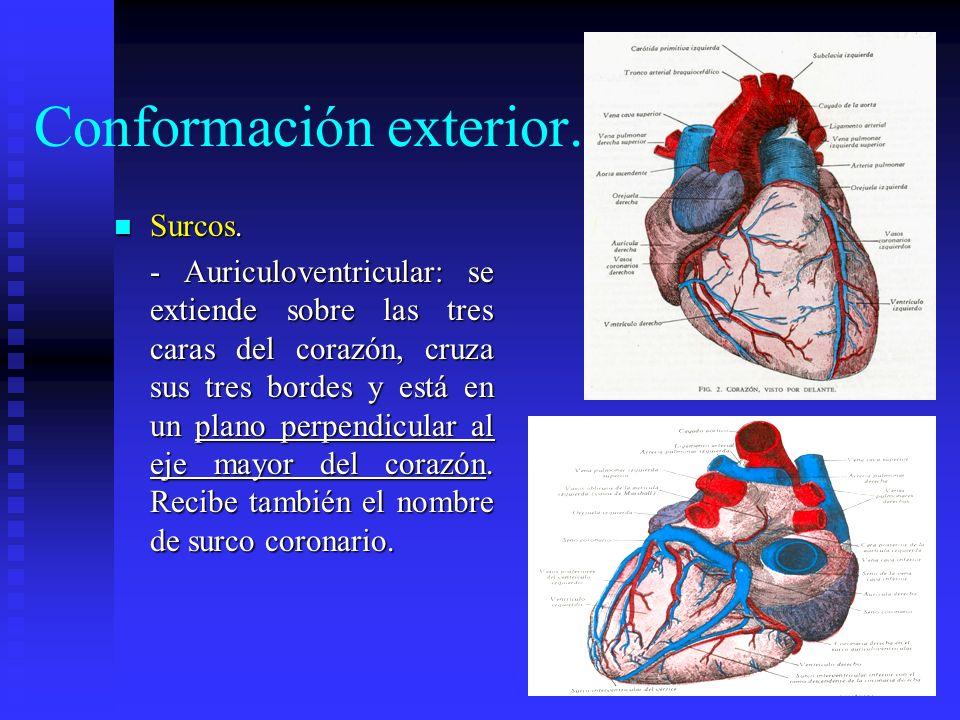 Conformación exterior. Surcos. Surcos. - Auriculoventricular: se extiende sobre las tres caras del corazón, cruza sus tres bordes y está en un plano p