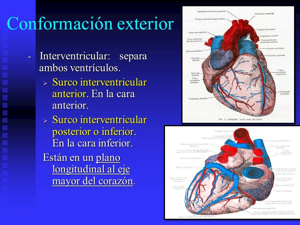 Conformación exterior - Interventricular: separa ambos ventrículos. Surco interventricular anterior. En la cara anterior. Surco interventricular anter