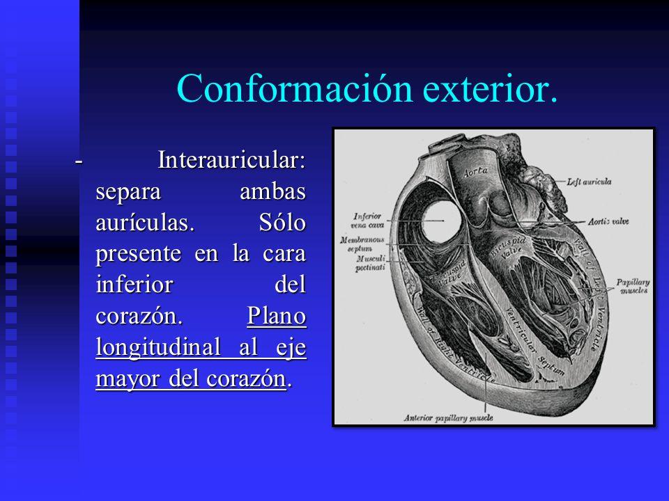 Conformación exterior. - Interauricular: separa ambas aurículas. Sólo presente en la cara inferior del corazón. Plano longitudinal al eje mayor del co