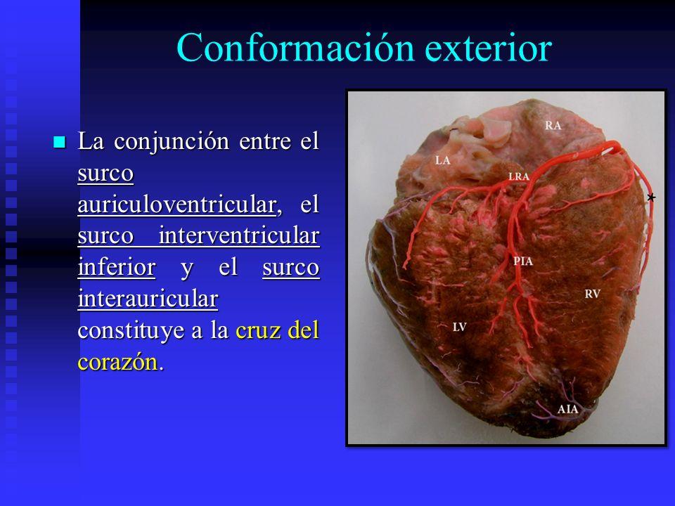 Conformación exterior La conjunción entre el surco auriculoventricular, el surco interventricular inferior y el surco interauricular constituye a la c