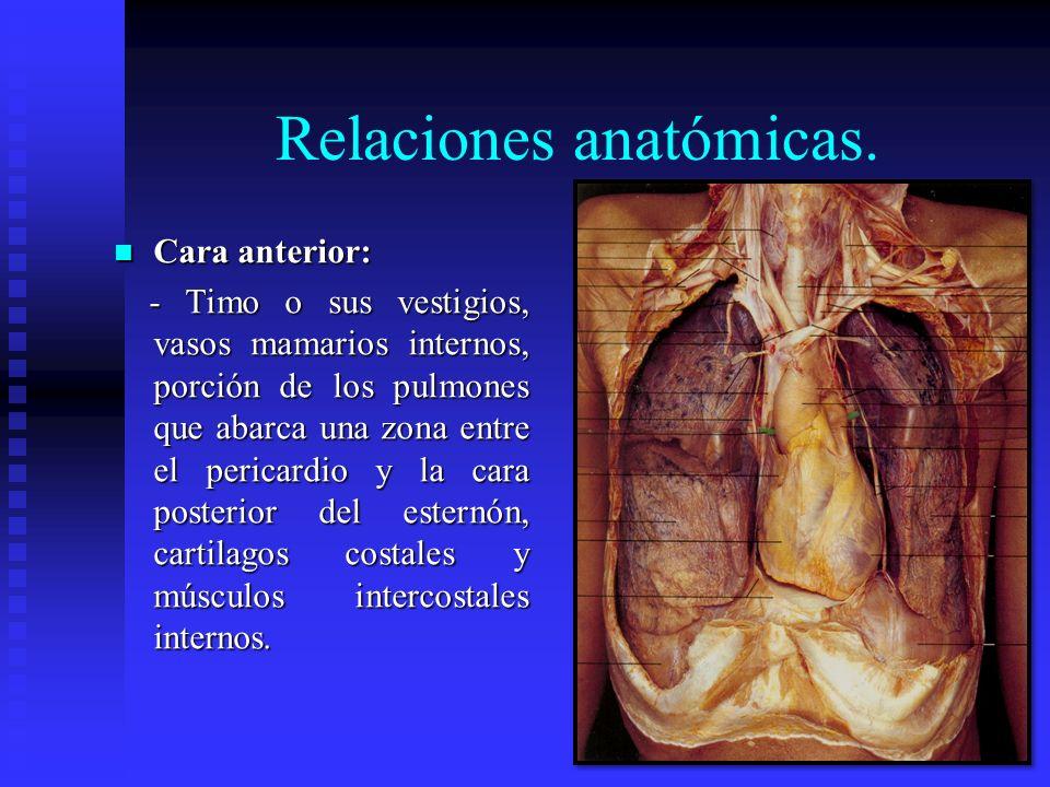 Relaciones anatómicas. Cara anterior: Cara anterior: - Timo o sus vestigios, vasos mamarios internos, porción de los pulmones que abarca una zona entr