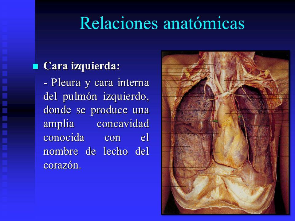 Relaciones anatómicas Cara izquierda: Cara izquierda: - Pleura y cara interna del pulmón izquierdo, donde se produce una amplia concavidad conocida co