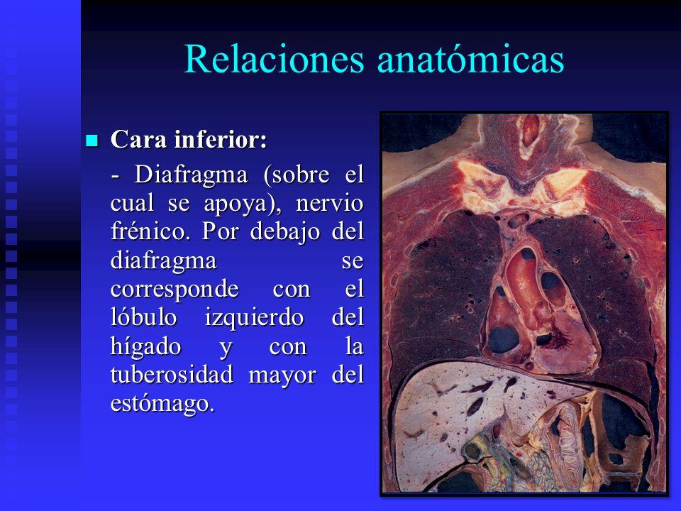 Relaciones anatómicas Cara inferior: Cara inferior: - Diafragma (sobre el cual se apoya), nervio frénico. Por debajo del diafragma se corresponde con