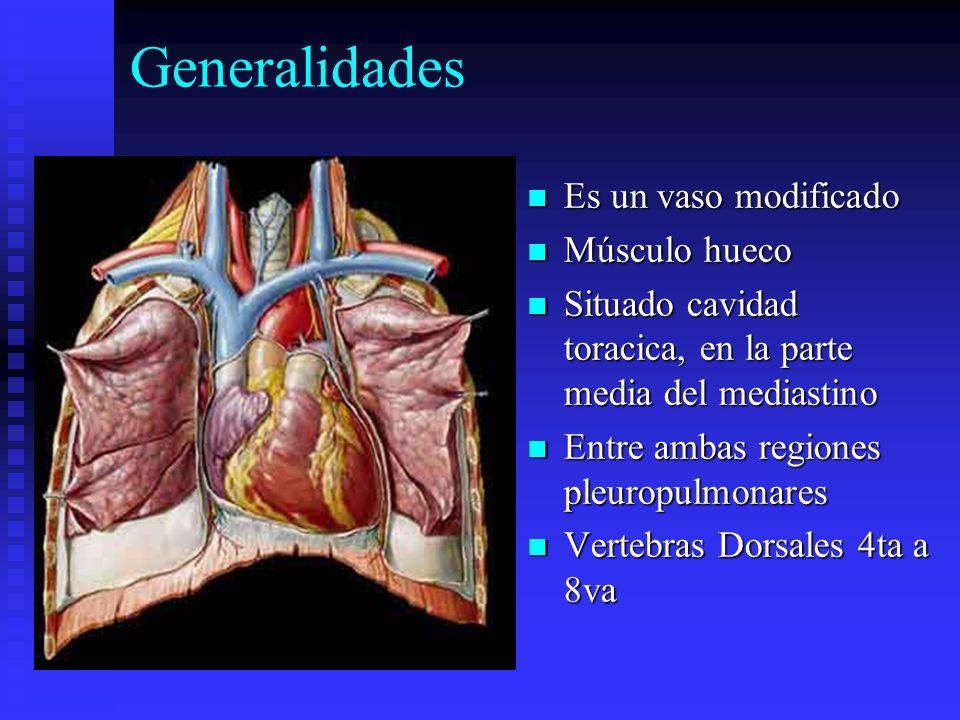 Generalidades Es un vaso modificado Músculo hueco Situado cavidad toracica, en la parte media del mediastino Entre ambas regiones pleuropulmonares Ver