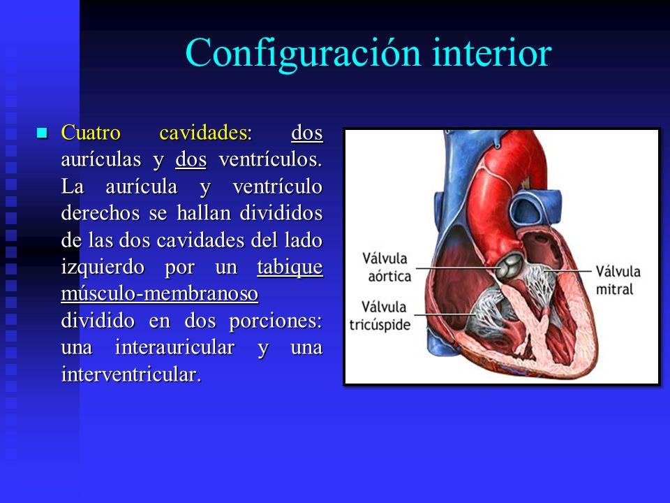 Configuración interior Cuatro cavidades: dos aurículas y dos ventrículos. La aurícula y ventrículo derechos se hallan divididos de las dos cavidades d