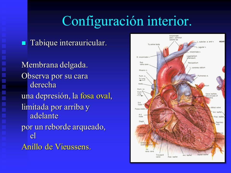 Configuración interior. Tabique interauricular. Tabique interauricular. Membrana delgada. Observa por su cara derecha una depresión, la fosa oval, lim