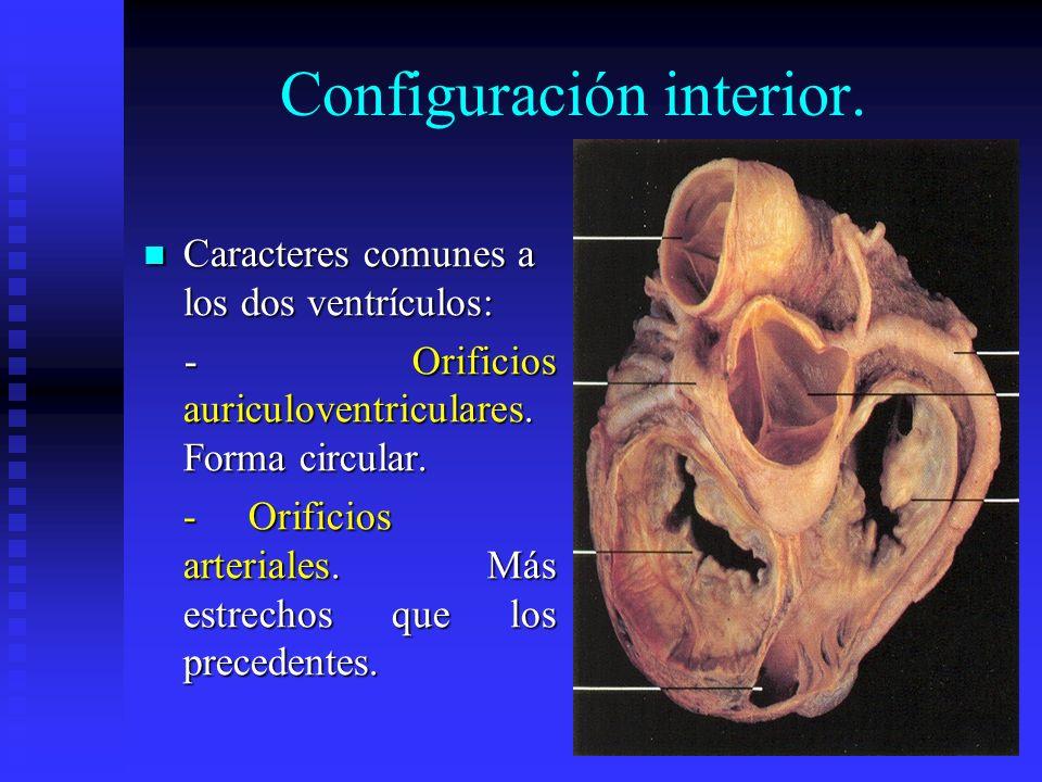 Configuración interior. Caracteres comunes a los dos ventrículos: Caracteres comunes a los dos ventrículos: - Orificios auriculoventriculares. Forma c