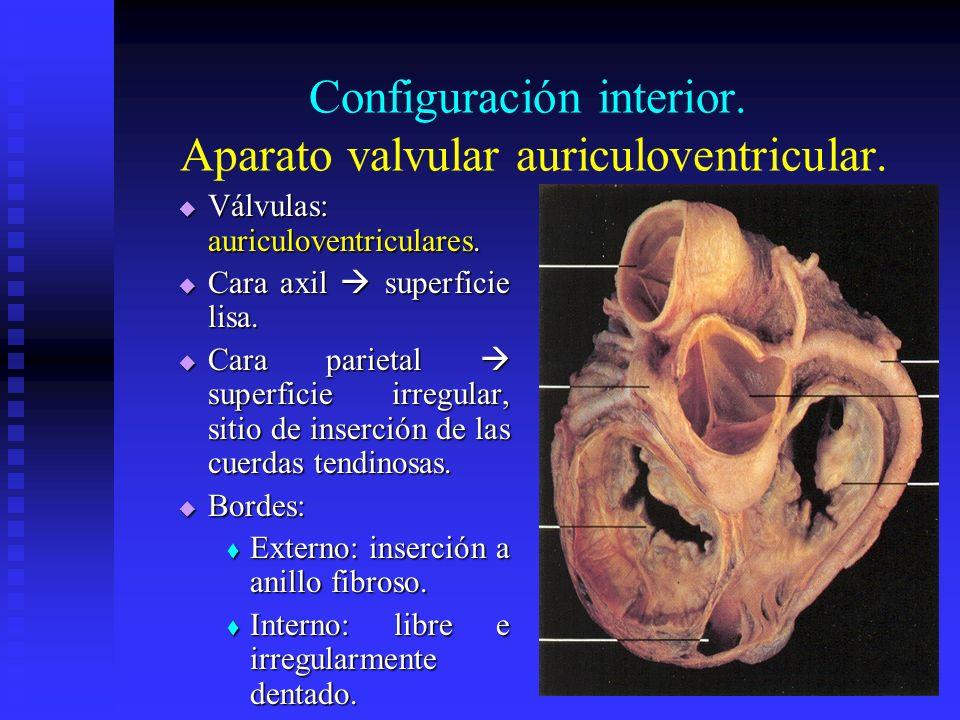 Configuración interior. Aparato valvular auriculoventricular. Válvulas: auriculoventriculares. Válvulas: auriculoventriculares. Cara axil superficie l