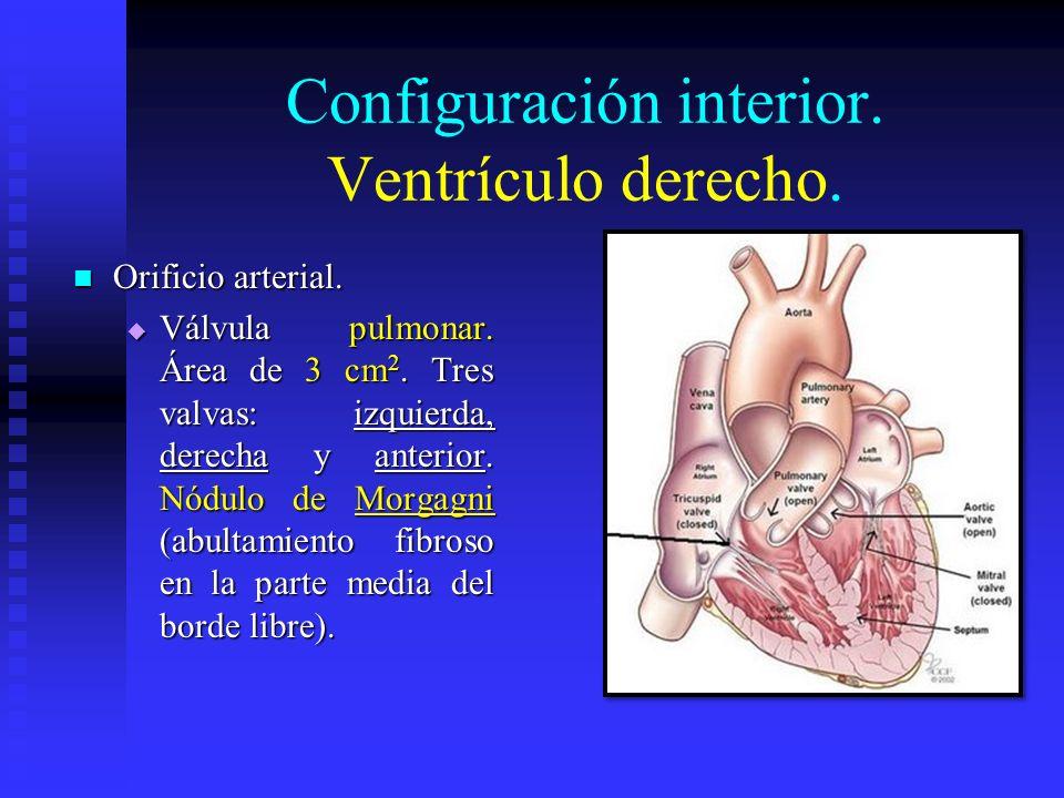 Configuración interior. Ventrículo derecho. Orificio arterial. Orificio arterial. Válvula pulmonar. Área de 3 cm 2. Tres valvas: izquierda, derecha y