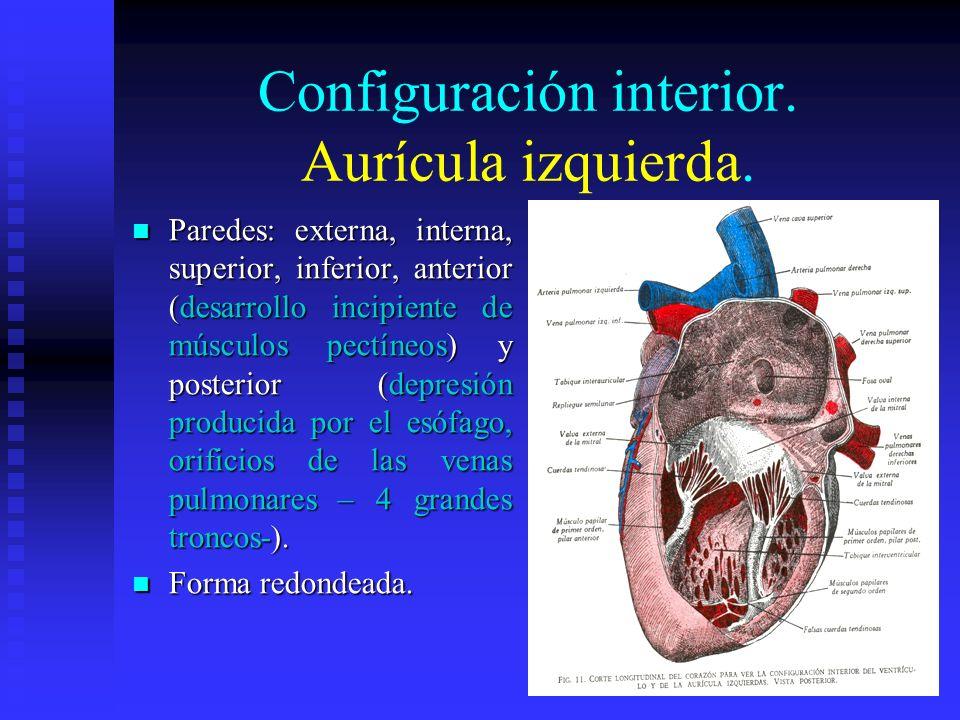 Configuración interior. Aurícula izquierda. Paredes: externa, interna, superior, inferior, anterior (desarrollo incipiente de músculos pectíneos) y po