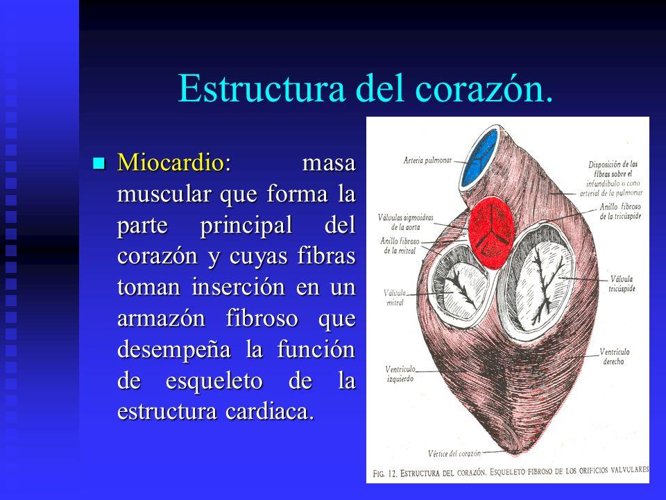 Estructura del corazón. Miocardio: masa muscular que forma la parte principal del corazón y cuyas fibras toman inserción en un armazón fibroso que des