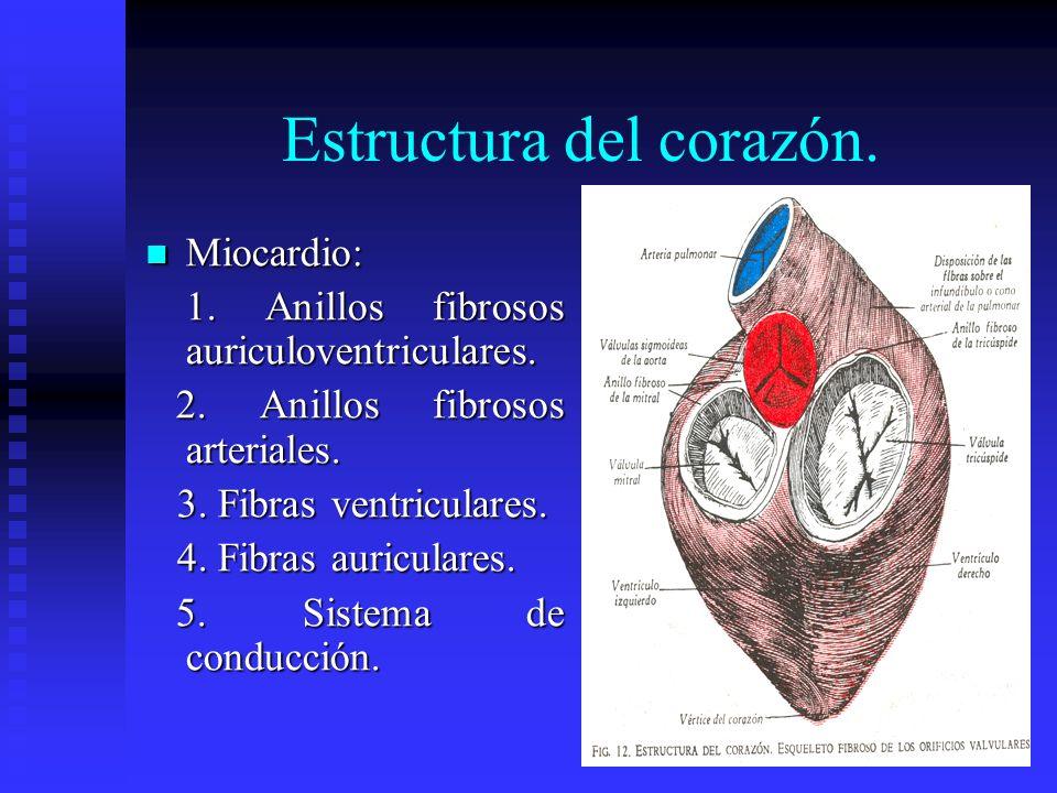 Estructura del corazón. Miocardio: Miocardio: 1. Anillos fibrosos auriculoventriculares. 2. Anillos fibrosos arteriales. 2. Anillos fibrosos arteriale