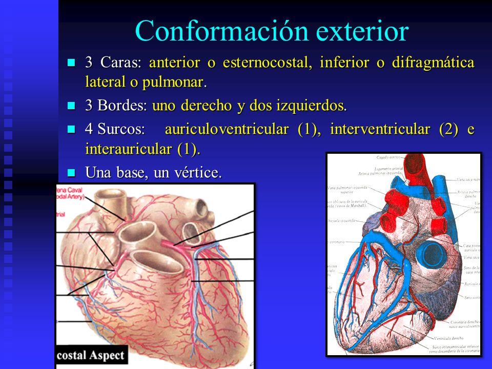 Conformación exterior 3 Caras: anterior o esternocostal, inferior o difragmática lateral o pulmonar. 3 Caras: anterior o esternocostal, inferior o dif