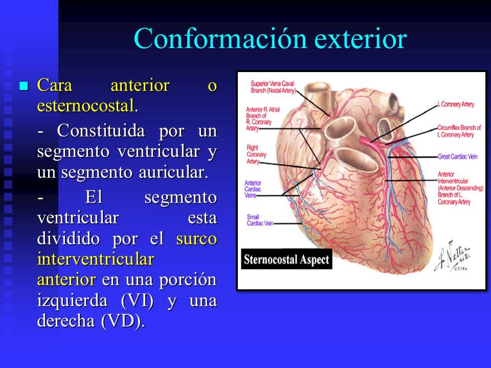 Conformación exterior Cara anterior o esternocostal. Cara anterior o esternocostal. - Constituida por un segmento ventricular y un segmento auricular.