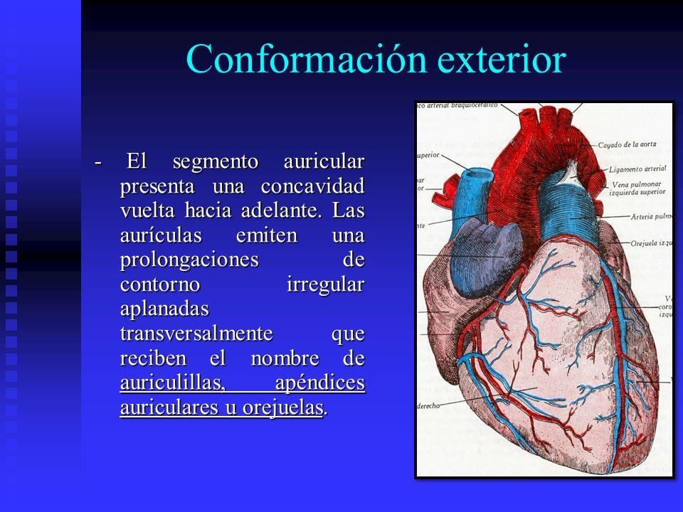 Conformación exterior - El segmento auricular presenta una concavidad vuelta hacia adelante. Las aurículas emiten una prolongaciones de contorno irreg