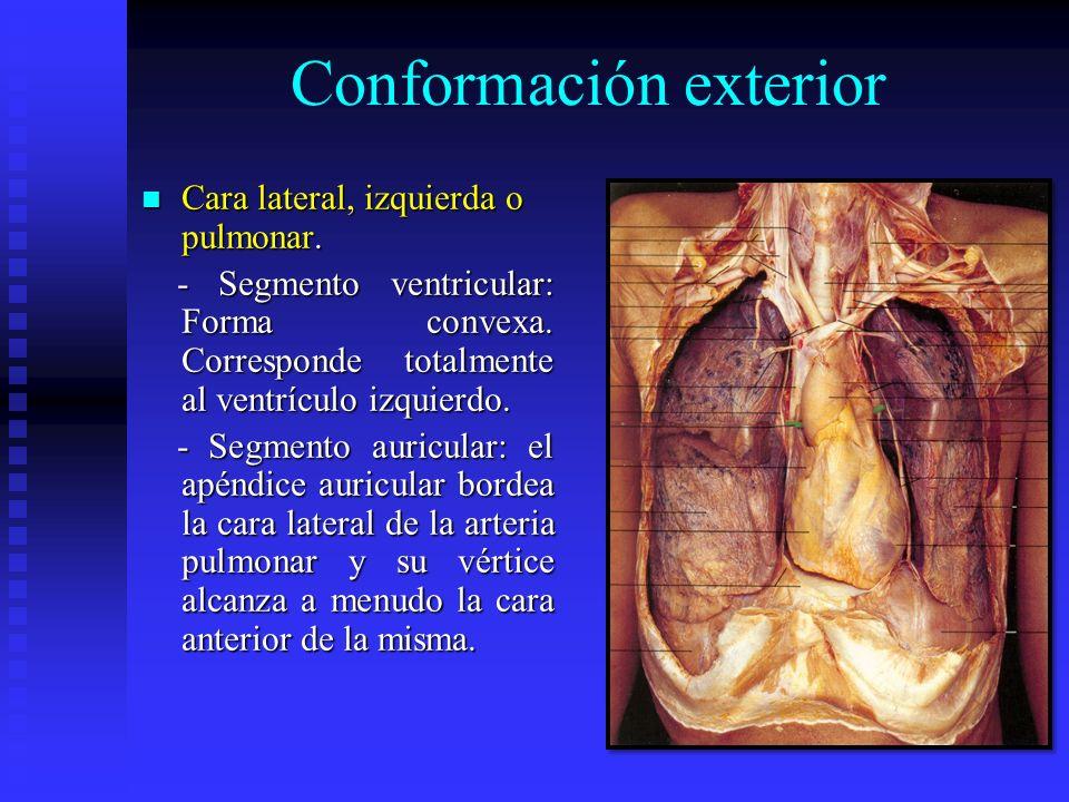 Conformación exterior Cara lateral, izquierda o pulmonar. Cara lateral, izquierda o pulmonar. - Segmento ventricular: Forma convexa. Corresponde total