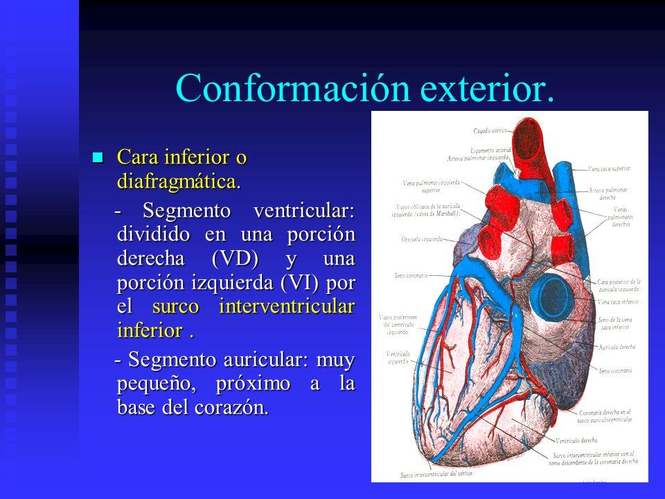 Conformación exterior. Cara inferior o diafragmática. Cara inferior o diafragmática. - Segmento ventricular: dividido en una porción derecha (VD) y un