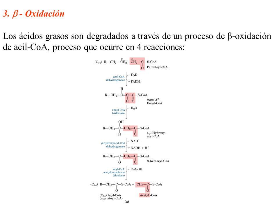 3. - Oxidación Los ácidos grasos son degradados a través de un proceso de -oxidación de acil-CoA, proceso que ocurre en 4 reacciones: