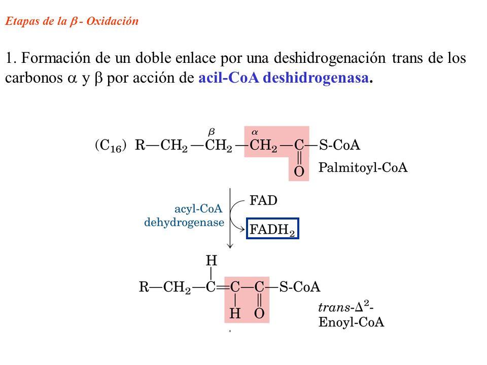 Etapas de la - Oxidación 1. Formación de un doble enlace por una deshidrogenación trans de los carbonos y por acción de acil-CoA deshidrogenasa.