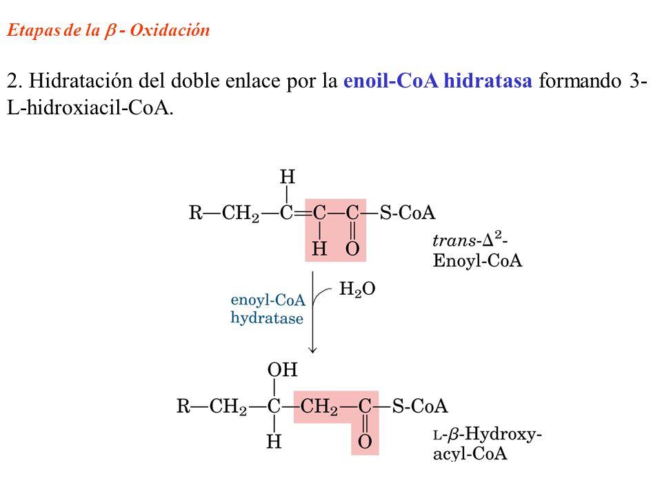 Etapas de la - Oxidación 2. Hidratación del doble enlace por la enoil-CoA hidratasa formando 3- L-hidroxiacil-CoA.