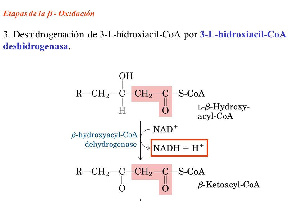 Etapas de la - Oxidación 3. Deshidrogenación de 3-L-hidroxiacil-CoA por 3-L-hidroxiacil-CoA deshidrogenasa.