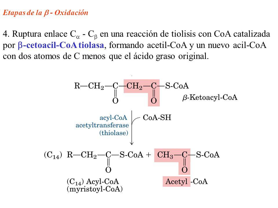 Etapas de la - Oxidación 4. Ruptura enlace C - C en una reacción de tiolisis con CoA catalizada por -cetoacil-CoA tiolasa, formando acetil-CoA y un nu