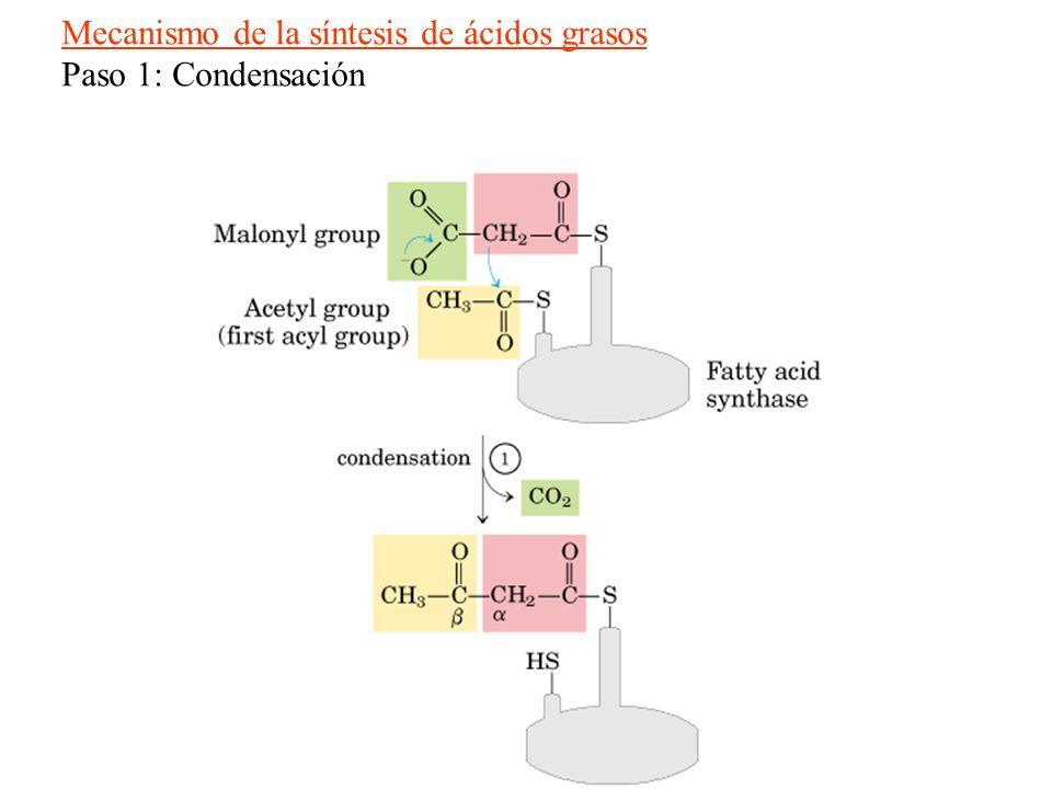 Mecanismo de la síntesis de ácidos grasos Paso 1: Condensación