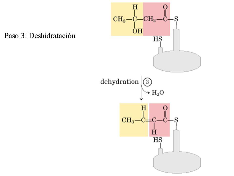 Paso 3: Deshidratación