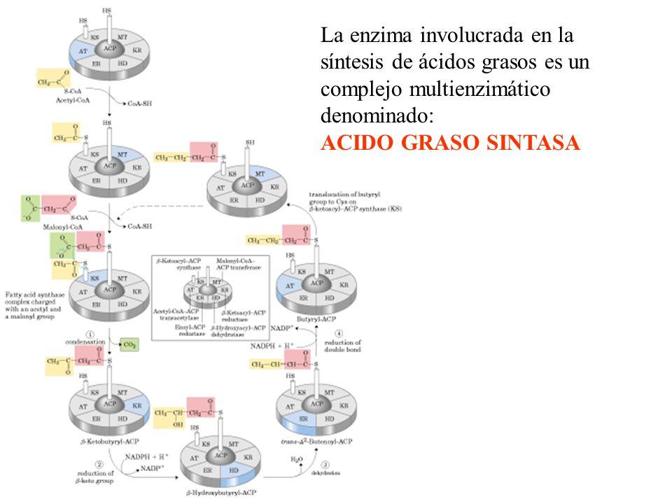 La enzima involucrada en la síntesis de ácidos grasos es un complejo multienzimático denominado: ACIDO GRASO SINTASA