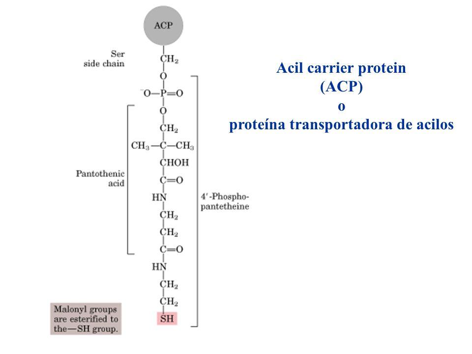 Acil carrier protein (ACP) o proteína transportadora de acilos