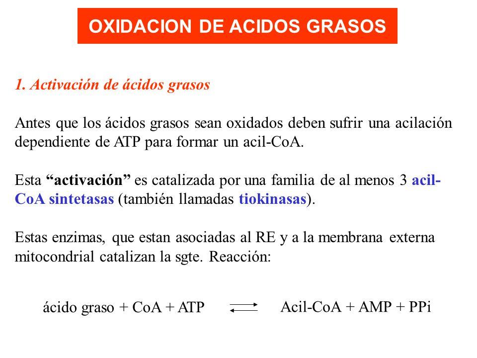 OXIDACION DE ACIDOS GRASOS 1. Activación de ácidos grasos Antes que los ácidos grasos sean oxidados deben sufrir una acilación dependiente de ATP para