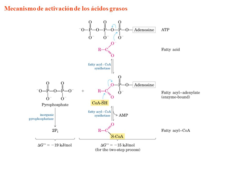 Mecanismo de activación de los ácidos grasos