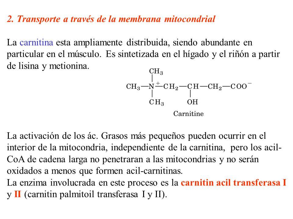 2. Transporte a través de la membrana mitocondrial La carnitina esta ampliamente distribuida, siendo abundante en particular en el músculo. Es sinteti