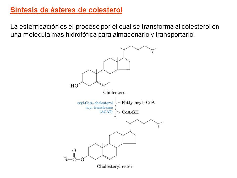 Síntesis de ésteres de colesterol. La esterificación es el proceso por el cual se transforma al colesterol en una molécula más hidrofófica para almace