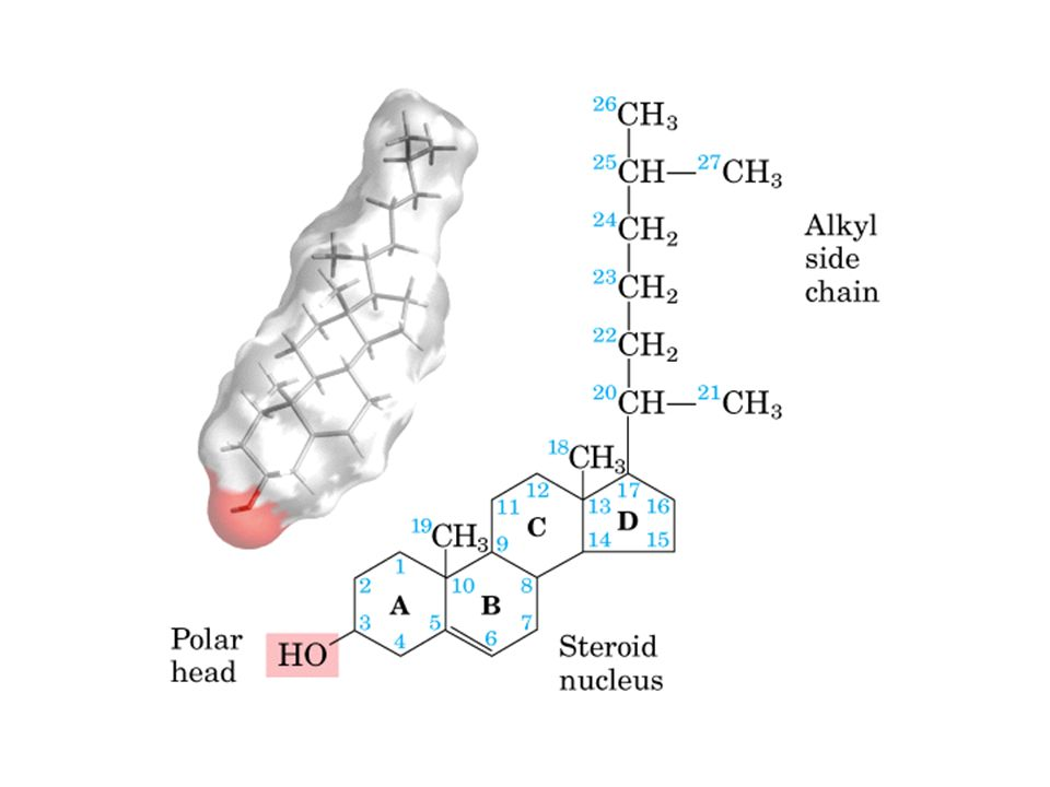 El Isopreno es la estructura básica que compone al colesterol y en general a todos los terpenoides.