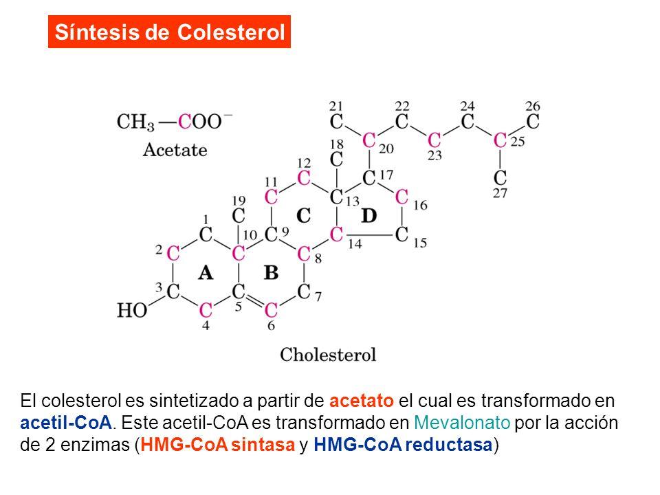 El colesterol es sintetizado a partir de acetato el cual es transformado en acetil-CoA. Este acetil-CoA es transformado en Mevalonato por la acción de