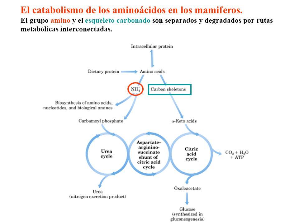 Catabolismo del grupo amino en el hígado de los vertebrados