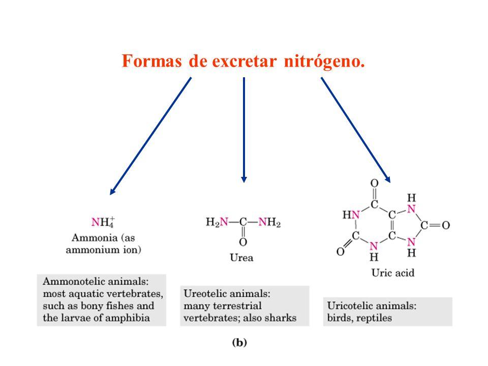 Transaminaciones En este tipo de reacciones enzimáticas se emplea una enzima denominada aminotransferasa.