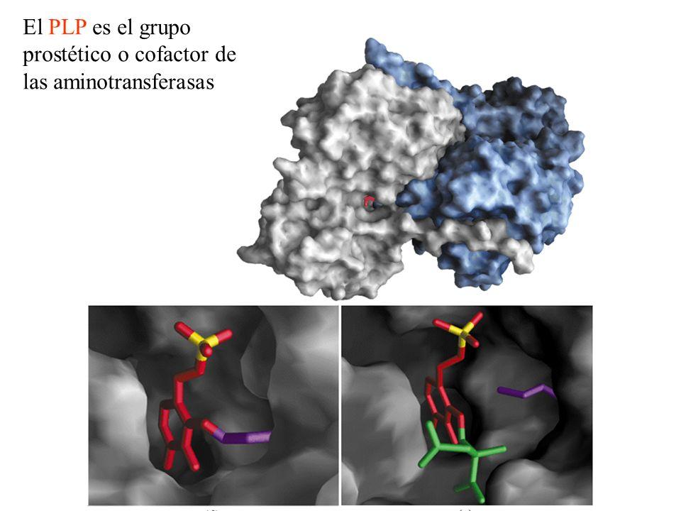 El glutamato libera amonio en el Hígado TRANSPORTE DEL GRUPO ÁMINO.