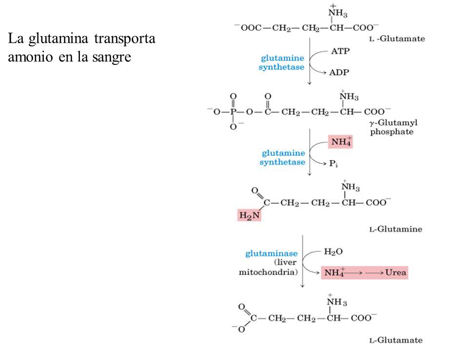 La alanina transporta amonio desde el músculo hasta el hígado La alanina sirve como un transportador de amonio y del esqueleto carbonado del piruvato desde el músculo al hígado.