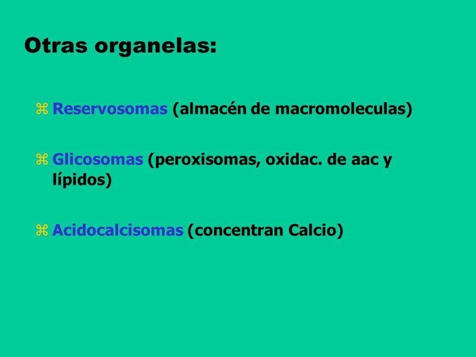 Otras organelas: Reservosomas (almacén de macromoleculas) Glicosomas (peroxisomas, oxidac. de aac y lípidos) Acidocalcisomas (concentran Calcio)