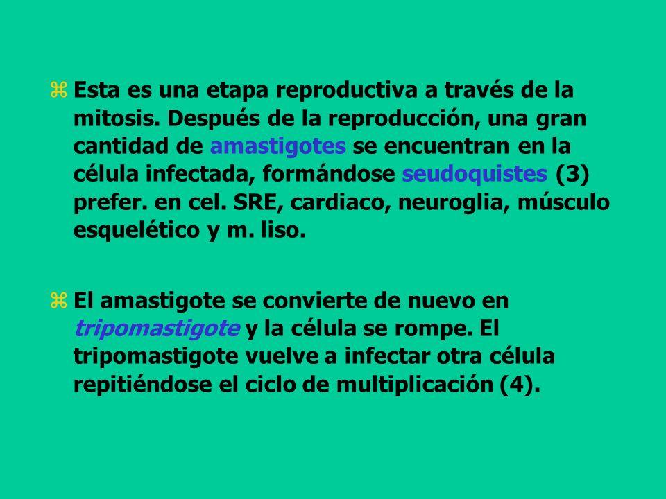 Esta es una etapa reproductiva a través de la mitosis. Después de la reproducción, una gran cantidad de amastigotes se encuentran en la célula infecta