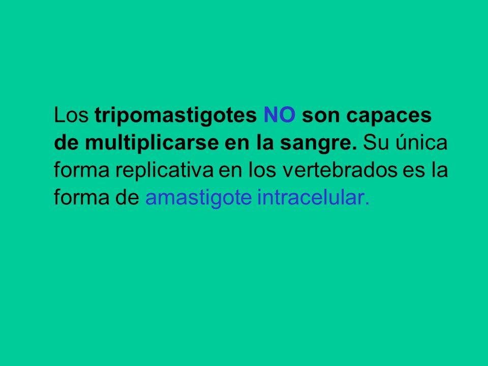 Los tripomastigotes NO son capaces de multiplicarse en la sangre. Su única forma replicativa en los vertebrados es la forma de amastigote intracelular
